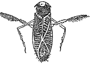 Отр. Hemiptera (клопы)