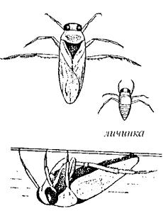 Гладыш (сем. Notonectidae)