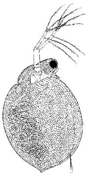 Цериодафния (p. Ceriodaphnia, сем. Daphniidae)