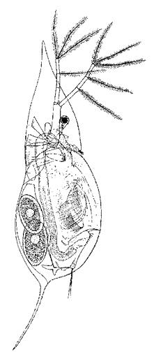 Daphnia cucullata