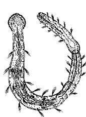 p. Aelosoma (кл. Oligochaeta)
