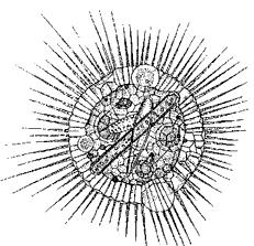 Солнечник (кл. Heliozoa)