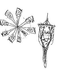 Коловратка (Conochilus unicornis, кл. Rotatoria, т. Rotifera