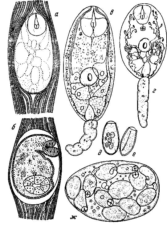 Метацеркарий