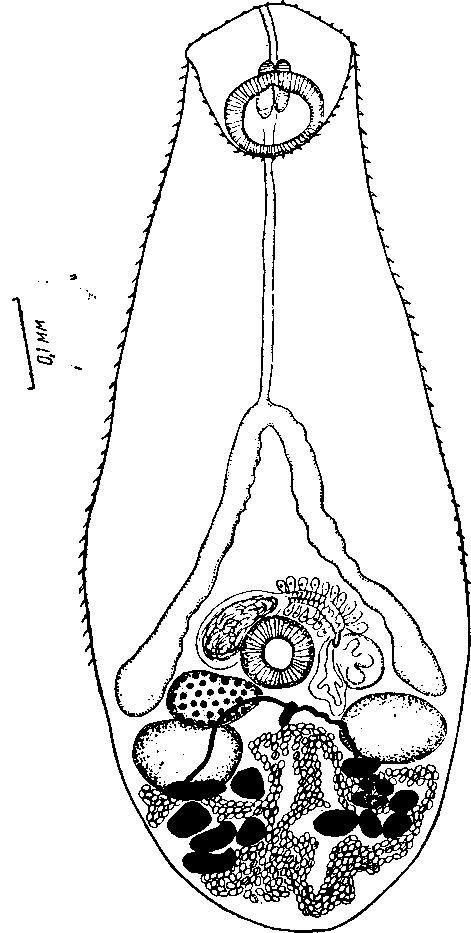 Мирацидия