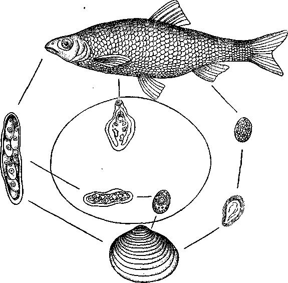 Схема цикла развития