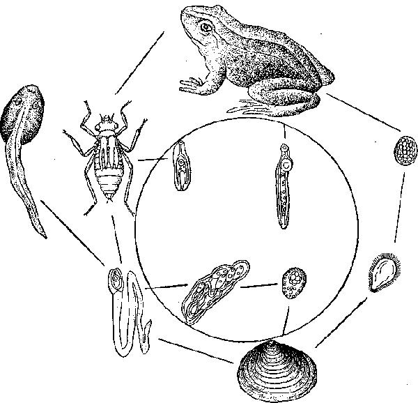 Схема цикла развития горгодер