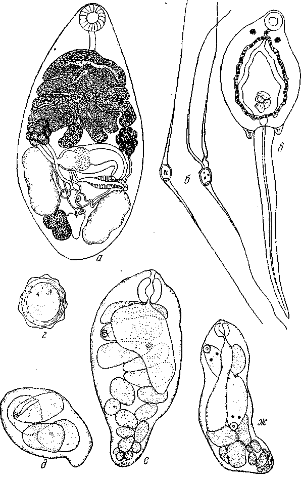 Церкарий