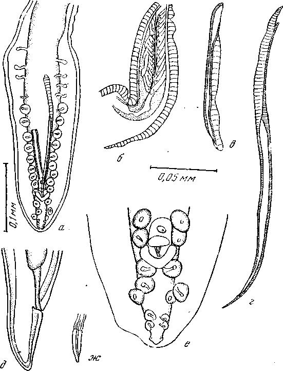 Спикула