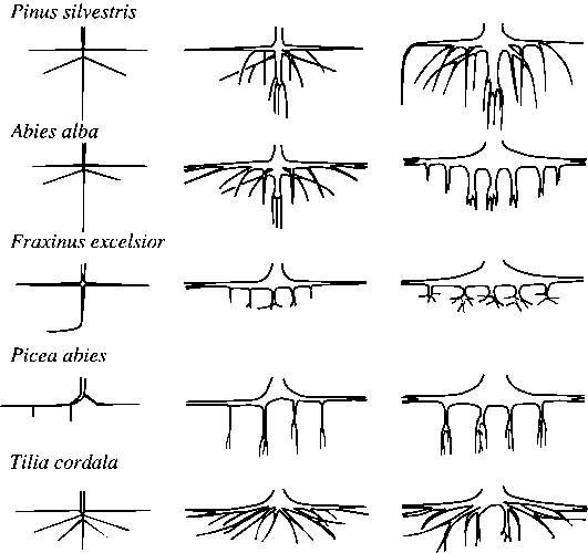 Схема строения корневых систем
