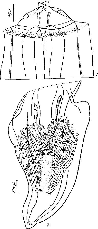 Губернакулум фото