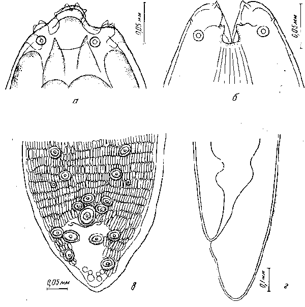 Губернакулум