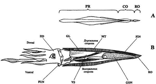 Схема строения гладиуса и