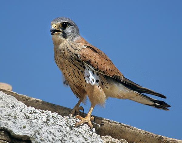 Обыкновенная пустельга фото (Falco tinnunculus)