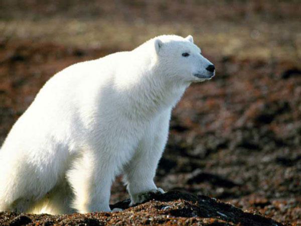 """Предпросмотр - Схема вышивки  """"Белый медведь """" - Схемы вышивки - Yliya - Авторы - Портал  """"Вышивка крестом """" ."""