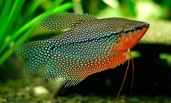 фото гурами рыба