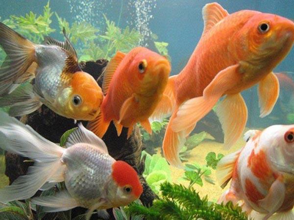 золотые рыбки аквариумные фото