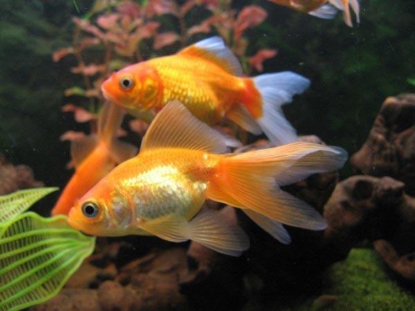 """Золотые рыбки, животные, рыбы, рыбки.  Оригинал схемы вышивки  """"Золотые рыбки """" ."""