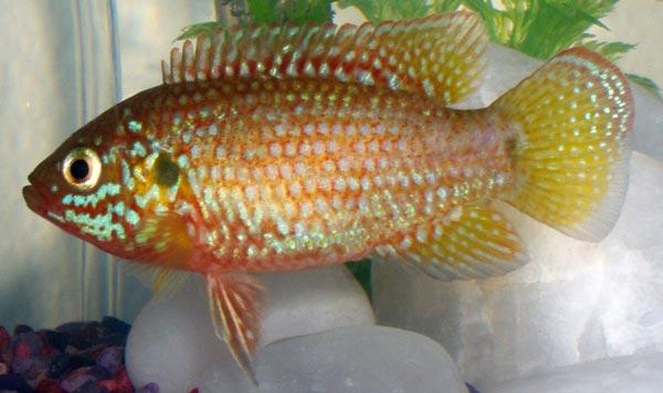 Цихлиды — крупные, массивные рыбы
