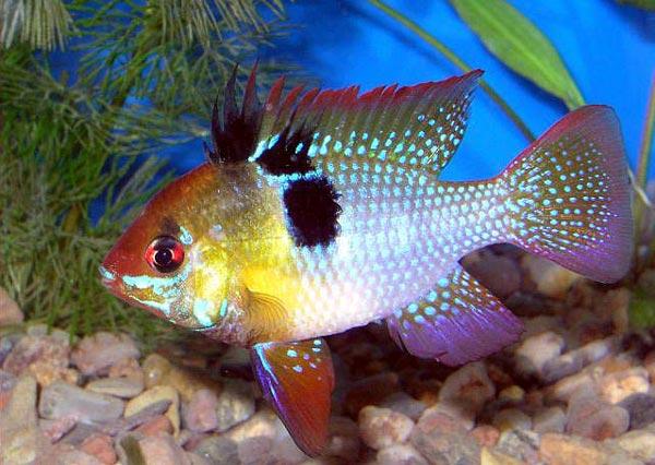 папилиохромис Рамиреса (Papiliochromis ramirezi)