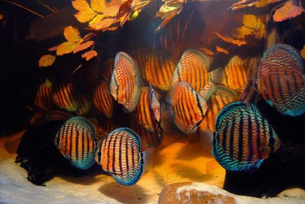 дискус Хекеля — Symphysodon discus Heckel)