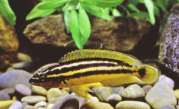 Золотой попугай (Julidochromis ornatus)
