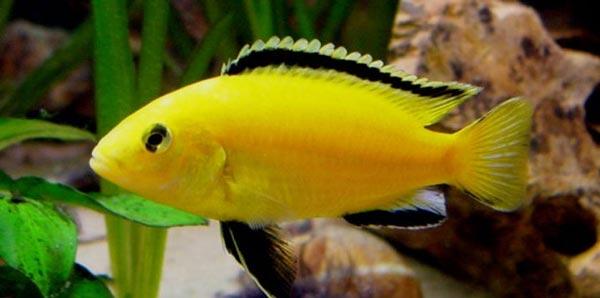 Колибри (Labidochromis caeruleus)