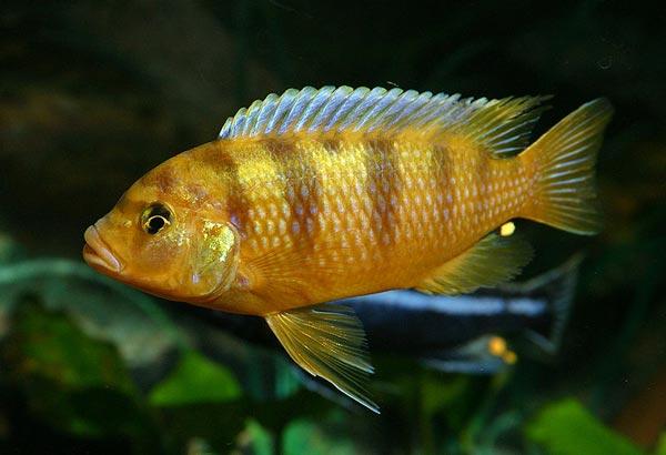 Псевдотрофеус Ломбарде (Pseudotropheus lombardoi)