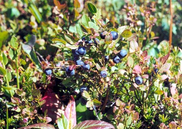 Условия для выращивания черники 94