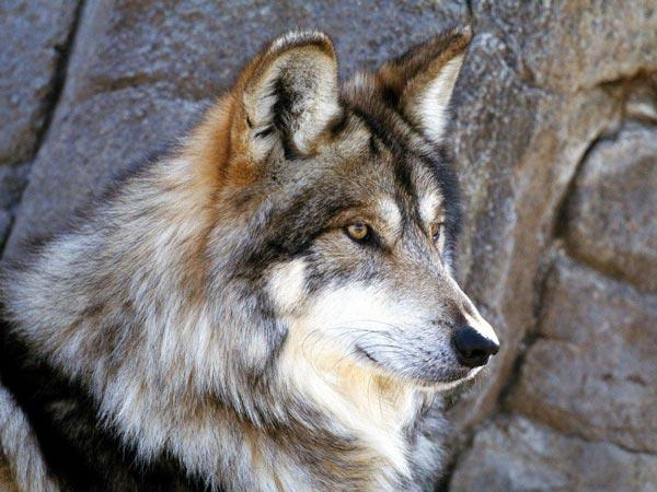"""Вышивка крестом.  Схемы автора  """"rusosh """".  190x143 крестов * 59 цветов * Теги: животные, волки."""