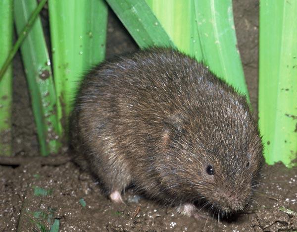 полевые крысы фото