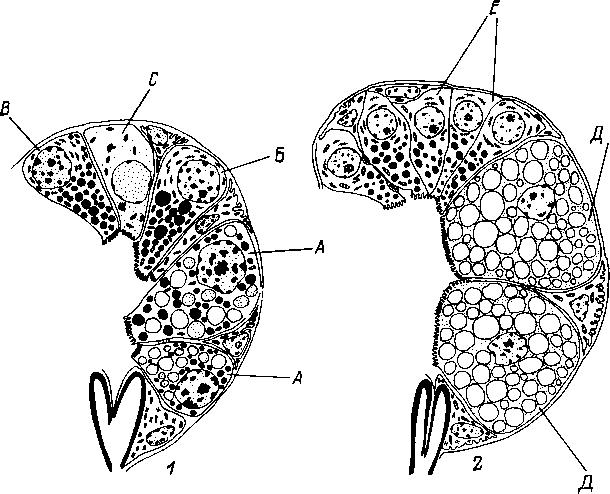 Схема строения альвеол и типов