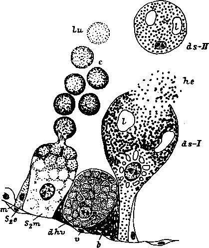 Схема развития базофильной