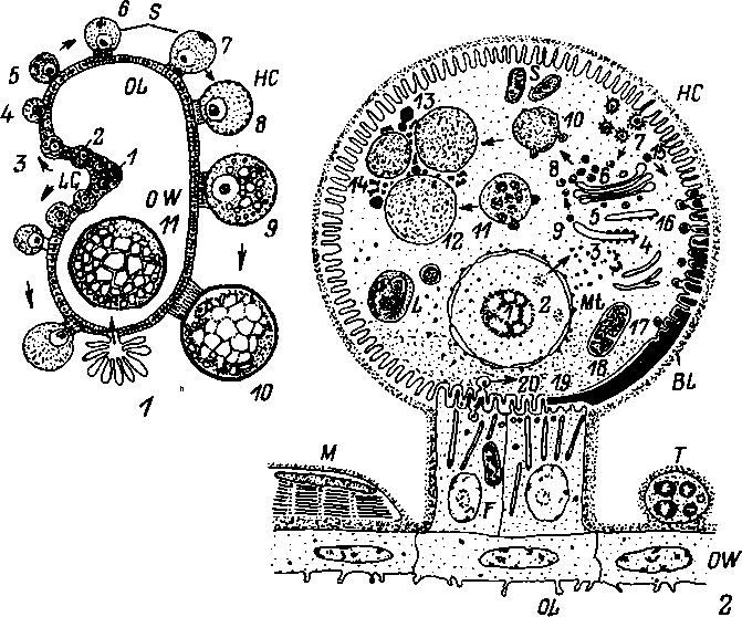 Обобщенная схема оогенеза (1)