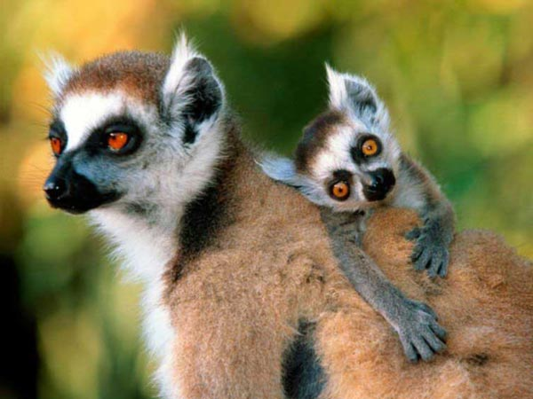Фото лемуров, обезьян, приматов - Фото-страница.