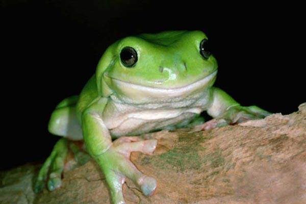 Зеленая лягушка - к короткой радости; обыкновенная квакша - ваша любовь, как бы вы ни были в ней уверены...