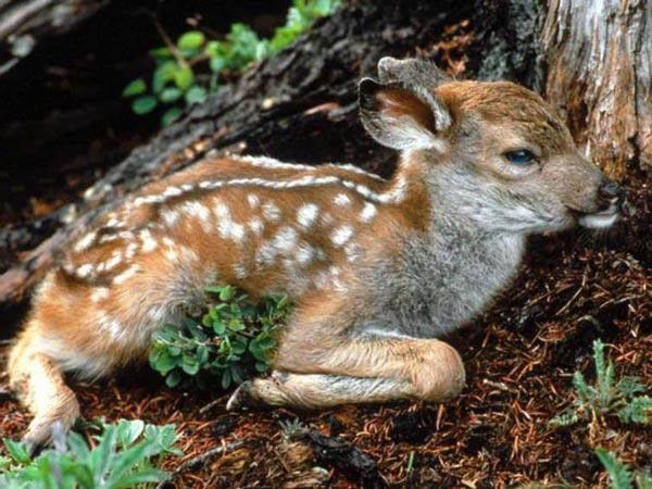 В литературе широко обсуждается еще одна закономерность варьирования признаков животных в зависимости от...