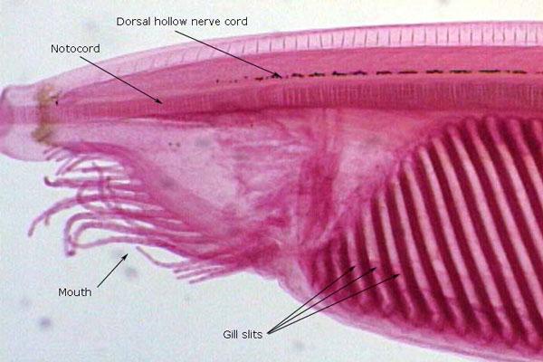 Развитие зародыша ланцетника