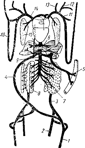 Схема венозной системы лягушки