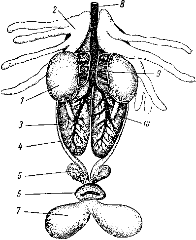 органы самца лягушки