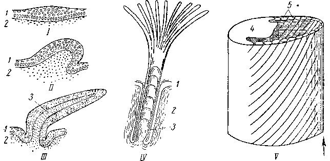 Схема развития пера