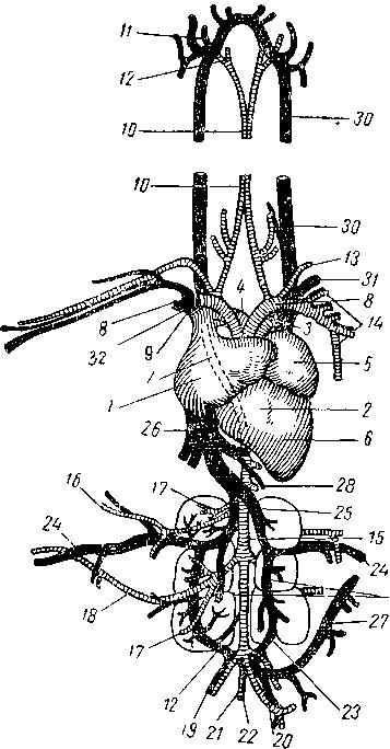 Кровеносная система голубя