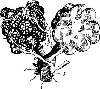 Схема строения легочных