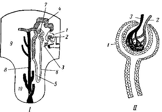 Схема строения почечного