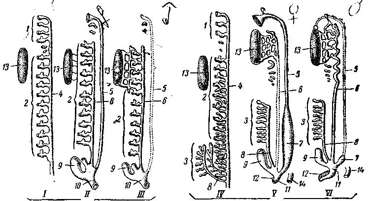 Схемы строения мочеполовых