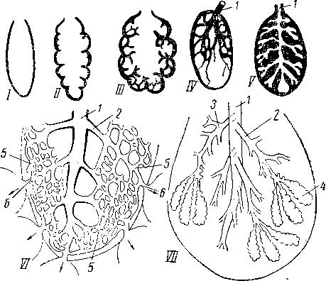Схема строения легких у