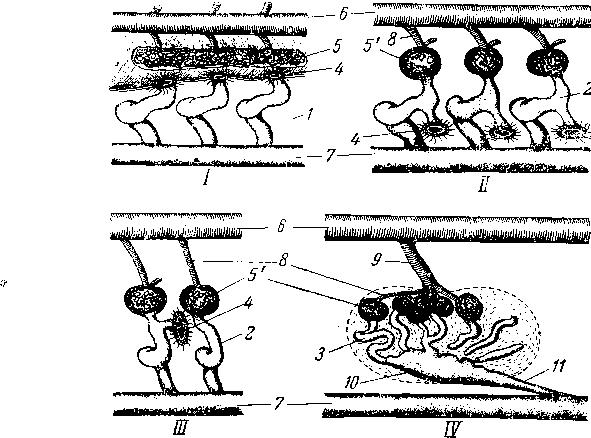 Схема строения нефридиальных