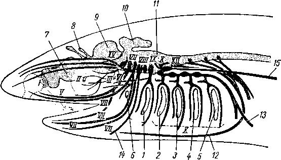 Головные нервы акулы (схемы).