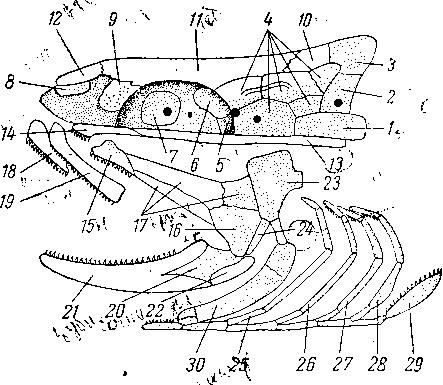 Схема черепа костистой рыбы, жаберная крышка и окологлазничное кольцо удалены.  Хрящевые кости обозначены пунктиром...