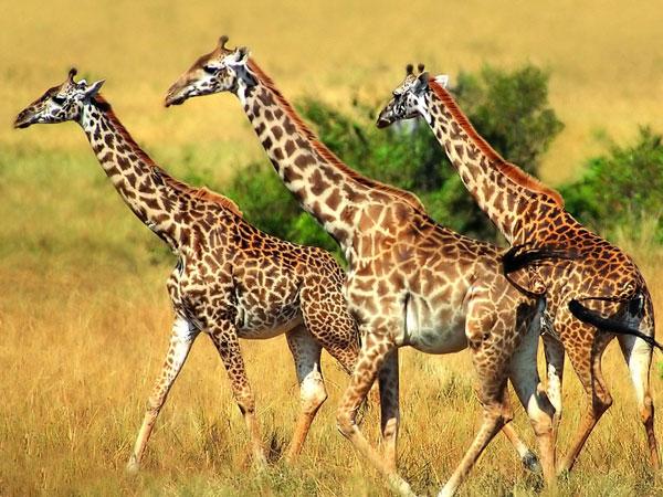 При сопоставлении сравнительноанатомического ряда современных хордовых животных намечаются следующие этапы в эволюции...